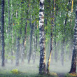 Birch tree forest on foggy morning - Stock Photo