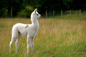 Baby llama — Stock Photo