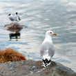 Seagull on small cliff — Stock fotografie