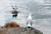 Seagull on small cliff — Stock Photo