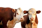 Two curious cows — Stock Photo
