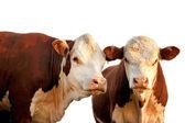 两个好奇奶牛 — 图库照片