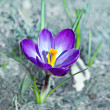 Single crocus - Stock Photo