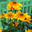 Yellow cone flowers — Stock Photo