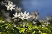 Windflowers — Stock Photo