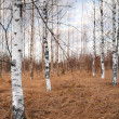 Bare birch trees — Stock Photo