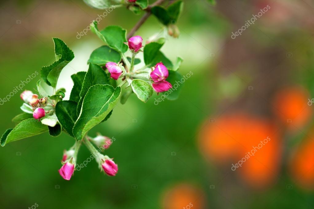 关门的花蕾上棵苹果树
