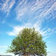 Rowan tree on blue sky — Stock fotografie