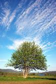 Rowan tree on blue sky — Stock Photo