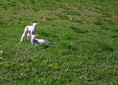 Two baby lambs — Stock Photo