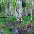 Birch forest with gully — Stock Photo