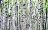 Trunks of birch trees — Stock Photo