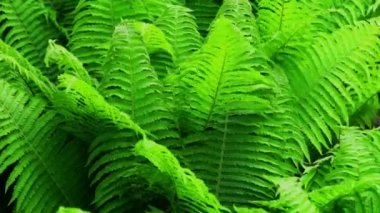 Close up of ferns — Stock Video