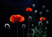 Back lit red poppy flowers — Stock Photo
