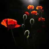 Back lit poppy buds — Stock Photo
