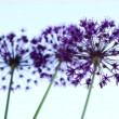 Stock Video: Allium flowers