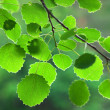 Stock Photo: Green aspen leaves