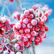 Foto Stock: Frozen rowberries
