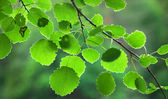 Green aspen leaves — Stock Photo