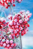 Frozen rowan berries — Stock Photo