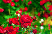 Red roses on bush — Stock Photo