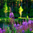 Stock Photo: Lake with fireweed flowers