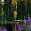 Lake with fireweed flowers — Stock Photo