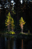 Pine trees in evening light — Stock Photo