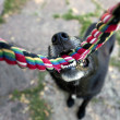 Stock Photo: Black dog with rope