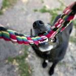 Black dog with rope — Stock Photo