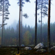Swedish pine forest in fog — Stock Photo