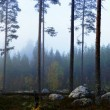 Swedish pine forest in fog — Stockfoto