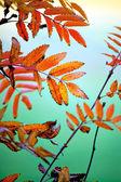 Bunte blätter von rowan baum im herbst — Stockfoto