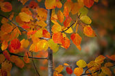 Aspen leaves in autumn colors — Photo