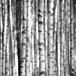 Birch trees  in black and white — Stock Photo