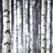 Birch trees  in blue — Stock Photo