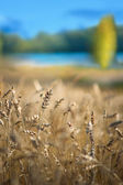 Wheat field with lake — Stock Photo