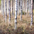 Birch trees in autumn — Stock Photo #32162795