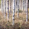 Stock Photo: Birch trees in autumn
