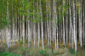 Birch trees — Foto Stock