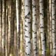 Stock Photo: Trunks of birch trees