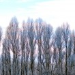 Poplar trees in winter — Stock Photo