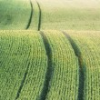 Field with green crop — Stock Photo