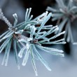 Needles of pine tree with ice crystals — Stock Photo