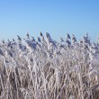 Stock Photo: Reeds with rime frost
