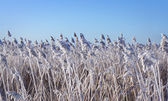 Reeds with rime frost — Stock Photo