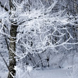 Tree with rime frost — Stock Photo