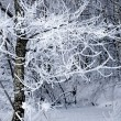 Stock Photo: Tree with rime frost