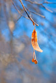 Frozen branch of lime tree — Stock Photo