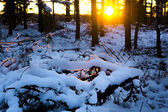 Winter sunset in scandinavian forest — Stock Photo